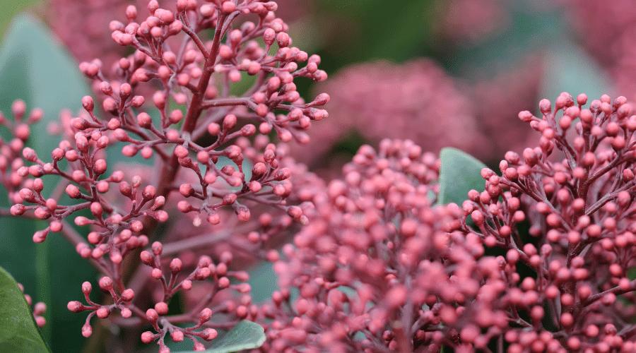 De bloemen van de skimmia - 8 TIPS OM JE TUIN WINTERKLAAR TE MAKEN