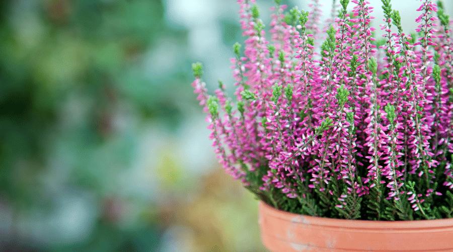 Winterheide in een stenen pot - 8 TIPS OM JE TUIN WINTERKLAAR TE MAKEN