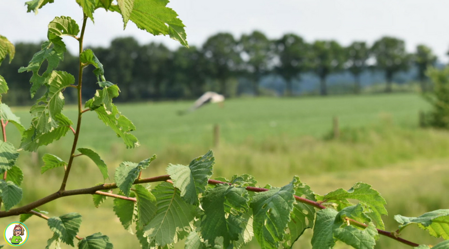 Een wijds uitzicht over weiland en grazend vee, in Groesbeek, met een beukentak op de voorgrond