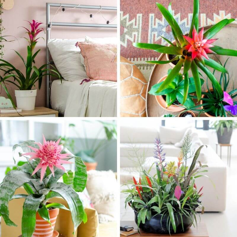 Collage met verschillende soorten Bromelia planten