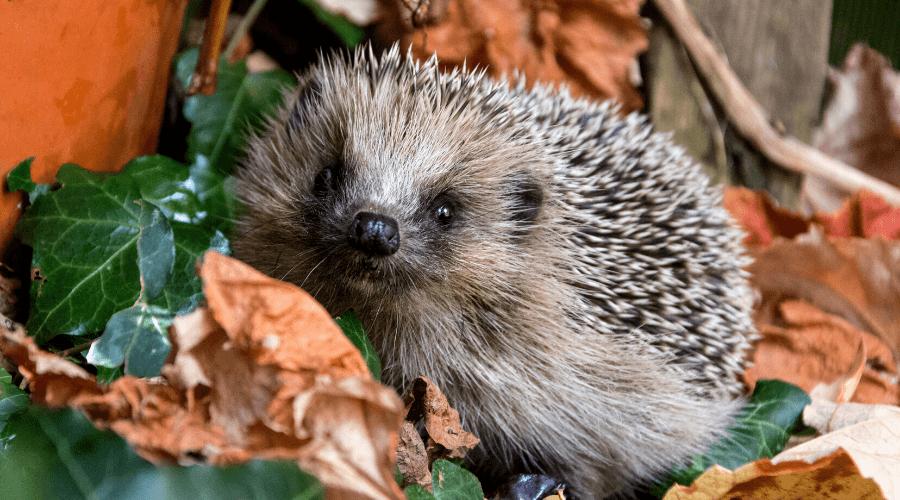 Egel tussen de bladeren - Zo kun je wilde dieren helpen in de winter